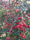 Cherry ripe. Stock Photography