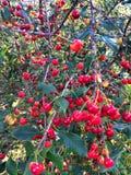 Cherry ripe. Stock Photo