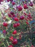 Cherry ripe. Stock Images