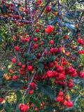 Cherry ripe. Stock Image
