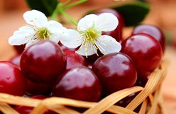 Cherry ripe juicy with a flower lies in the basket stock photo