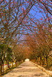 Cherry road Royalty Free Stock Photography