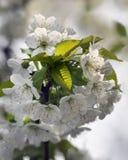 Cherry's Blossom Stock Image