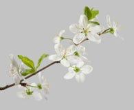 Cherry's flowers Stock Photography