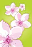 Cherry sakura Royaltyfri Bild