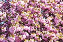 Cherry sakura blossom trees. Cherry sakura blossom trees, nature and spring time background stock photo