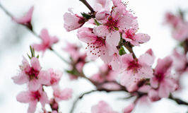 Cherry sakura blossoms against a blue sky in the rain. Pink flowers. Spring pink flowers. Flowers from the garden. Stock Photos
