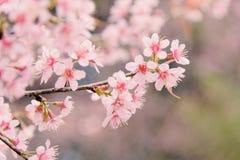 Cherry Sakura de l'Himalaya sauvage ou arbre de l'Himalaya sauvage Belles fleurs roses dans le nord de la Thaïlande Photo libre de droits