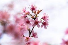 Cherry Sakura de l'Himalaya sauvage ou arbre de l'Himalaya sauvage Belles fleurs roses dans le nord de la Thaïlande Photographie stock libre de droits