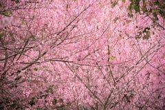 Cherry Sakura de l'Himalaya sauvage ou arbre de l'Himalaya sauvage Belles fleurs roses dans le nord de la Thaïlande Image stock