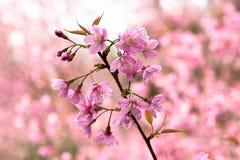 Cherry Sakura de l'Himalaya sauvage ou arbre de l'Himalaya sauvage Belles fleurs roses dans le nord de la Thaïlande Images stock