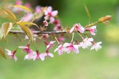 Cherry Sakura de l'Himalaya sauvage ou arbre de l'Himalaya sauvage Belles fleurs roses dans le nord de la Thaïlande Images libres de droits