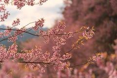 Cherry Sakura de l'Himalaya sauvage ou arbre de l'Himalaya sauvage Belles fleurs roses dans le nord de la Thaïlande Photo stock