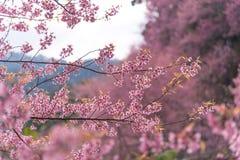 Cherry Sakura de l'Himalaya sauvage ou arbre de l'Himalaya sauvage Belles fleurs roses dans le nord de la Thaïlande Photos libres de droits