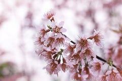 Cherry Sakura Himalayan salvaje en Tailandia Imágenes de archivo libres de regalías