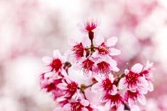 Cherry Sakura Himalayan salvaje en Tailandia Imagen de archivo libre de regalías