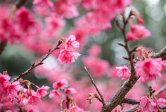 Cherry sakura pink flowers Stock Photo