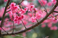 Cherry sakura pink flowers Stock Photos
