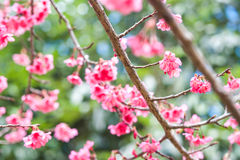 Cherry sakura pink flowers Royalty Free Stock Photos