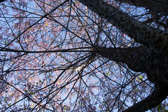 Cherry Sakura Thailand de l'Himalaya sauvage Images stock