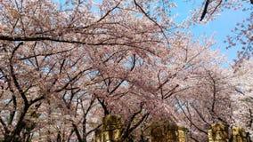 Cherry/Sakura tree flowering on time in Himeji-jō castle Japan royalty free stock photo