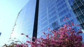 Cherry sakura tree on sky and city background. Spring nature modern glass building stock footage