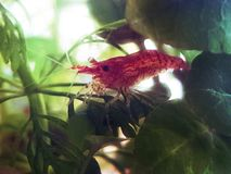 Cherry shrimp in a fish tank. Cherry shrimp tank 4people tropical fishtank aquascaping stock image