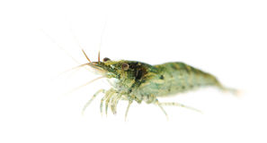 Cherry shrimp - Neocaridina heteropoda Stock Photography