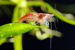 Cherry shrimp Royalty Free Stock Images