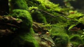Cherry Shrimp rojo, acuario tropical almacen de metraje de vídeo