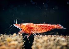 Cherry shrimp tank Royalty Free Stock Photo