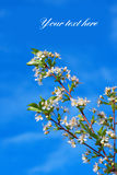 Cherry and sky Royalty Free Stock Photography