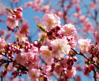 Cherry som blommar den rosa treen Royaltyfri Fotografi