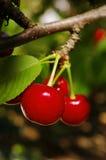 Cherry som hänger den röda mogna treen royaltyfri foto