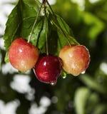 Cherry som hänger mer regnig tree fotografering för bildbyråer