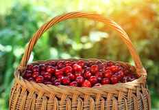 Cherry. Some beautiful sweet cherry fruit in basket Royalty Free Stock Photos