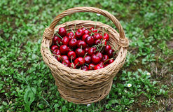 Cherry. Some beautiful sweet cherry fruit in basket on the ground Stock Photo
