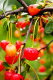 Cherry. Sour cherry - tree or shrub, reaching up to 10 m in height.nLeaves petiolate, broadly, pointed, dark green above, below lighter, reach a length of 8 cm Stock Photography