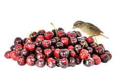 Cherry and sparrow. A sparrow which eats cherries Stock Photos