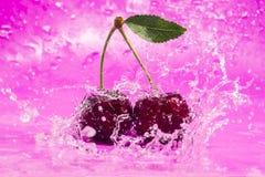 Cherry Splash rose Photo stock