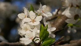 Cherry spring beautiful flowers close up stock video footage