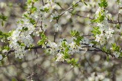 Cherry spring blossom royalty free stock image