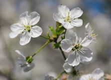 Cherry Spring Flowers Photo stock