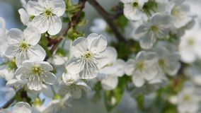Cherry Spring Flowers stock footage