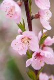 Cherry Spring Flowers Immagine Stock