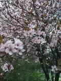 Cherry Spring Flowers imagenes de archivo