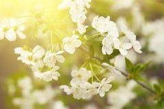 Free Cherry Spring Flowers Stock Image - 62196611