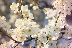 Cherry spring flowers in bloom on tree branch. Cherry flowers in bloom on tree branch. Spring background Royalty Free Stock Image