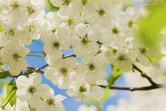 Cherry spring flowers Royalty Free Stock Photo