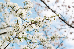 Cherry spring flowers Stock Photography